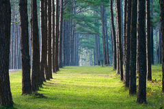 Pathway pine tree pattern. Pathway with pine tree pattern on sideway with sunlight in the morning Royalty Free Stock Images