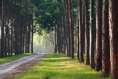 Pathway with pine tree on sideway Stock Photos