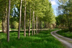 Pathway with poplar trees Stock Photos