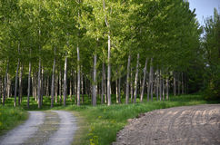 Pathway with poplar trees Royalty Free Stock Images