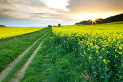 Pathway Through the Rapeseed Fields Royalty Free Stock Image