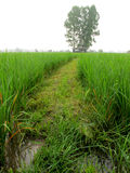 Pathway in the rice field Stock Image