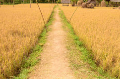 Pathway between rice field Royalty Free Stock Images