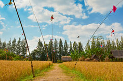 Pathway in rice field with blue sky Stock Photo