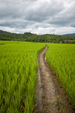 Pathway in rice field with cloudy sky Stock Images