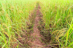 Pathway in rice field Royalty Free Stock Photos