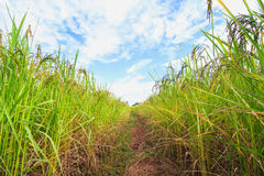 Pathway in rice field Royalty Free Stock Photo