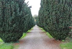 A pathway with a row of yew trees with red berries, either side royalty free stock images