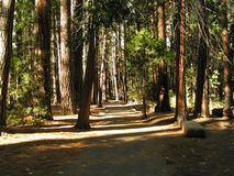 Pathway through Trees with Afternoon Shadows. Path through forest of trees with afternoon sun Royalty Free Stock Photo