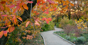 Pathway and smoke bush. Beautiful red and yellow leaves of smoke bush Cotinus. Pathway in the garden Stock Photos