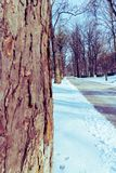 Pathway in the snowy park with tree on the foreground. In the winter Royalty Free Stock Photo