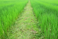 Pathway among sprout rice field,journey is too far Stock Photos