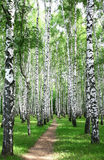 Pathway in the summer birch grove Royalty Free Stock Image