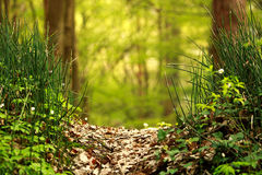 Pathway in summer green forest in sunlight, nature background Royalty Free Stock Image