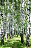 Pathway in sunny birch grove of summer july Stock Images