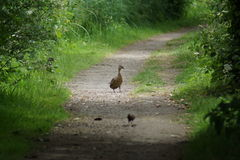 Pathway to Romance Mallard - Anas platyrhynchos Stock Photos