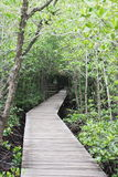 Pathway to study the ecology of mangroves. Royalty Free Stock Image
