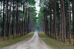 Pathway to Tunnel of Pine Trees Royalty Free Stock Image