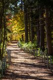 Forest trail leading through the evergreen trees to the beautiful yellow and gold colors of autumn Royalty Free Stock Images