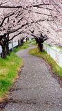 Pathway under cherry blossom tree royalty free stock image