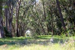 Pathway under eucalyptus trees Stock Photos