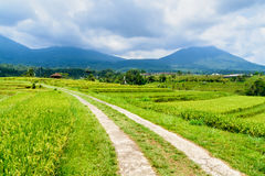 Pathway for vechicles through the rice field Stock Images