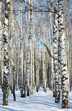 Pathway in winter birch forest on blue sky Royalty Free Stock Photo