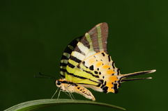 Pathysa antiphates /butterfly Royalty Free Stock Photography