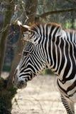 paticular зебра Стоковая Фотография
