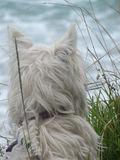 Patience. Westie Highland Terrier waiting for owner to return from fishing Stock Image