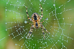 Patience. Spider sat patiently in dew drop covered web waiting for breakfast to arrive Stock Photography