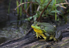 Patient American Bullfrog Stock Photos