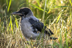 Patient baby crow. Falling from tree becuase Poisons Royalty Free Stock Photo