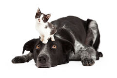 Patient Border Collie With Little Kitten on Head Stock Photography