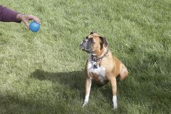 Patient Boxer. This is a boxer waiting very patiently for her owner to release the ball stock photography