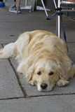 Patient Dog Waits at an Outdoor Cafe Royalty Free Stock Photo