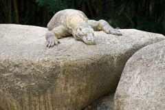 Patient Dragon. A Komodo dragon waits for its prey to come out stock photos