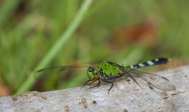 Patient dragonfly Royalty Free Stock Photography