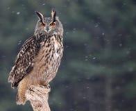 Free Patient Eurasian Eagle-Owl Royalty Free Stock Photos - 38383238