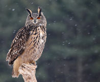 Patient Eurasian Eagle-Owl Royalty Free Stock Photos