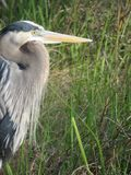 A patient Giant Blue Heron waits for a meal stock photo