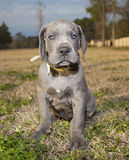 Patient Great Dane puppy Royalty Free Stock Images
