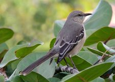 A patient Mocking Bird Royalty Free Stock Photo