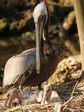 Patient mother Pelican. Pelican carefully watching over her young in a large nest Royalty Free Stock Image