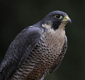 Patient Peregrine Falcon Royalty Free Stock Photo