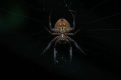 Patiently waiting. Night macro/closeup shot of a spider waiting for prey Royalty Free Stock Image