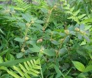 Patikan Kebo (Euphorbia Hirta) fotografering för bildbyråer
