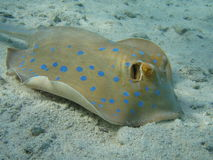 Patin marin Image stock