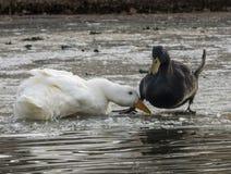 Patinage de glace de style du ` s de canard Images libres de droits