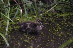 Patinho crescido na lagoa Foto de Stock Royalty Free